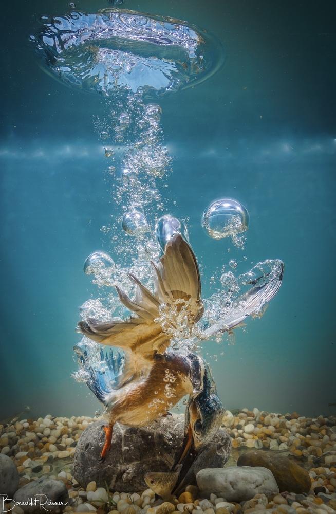 Eisvogel der erfolgreiche Jäger unter Wasser