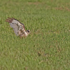 Rohrweihe (Circus aeruginosus) Männlich