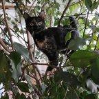 Schildpatt in Ficus