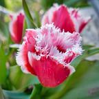 Fleischfressende Tulpe