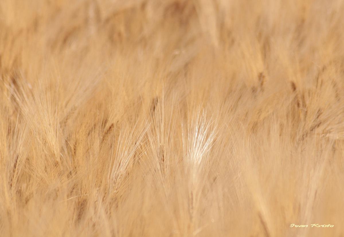 Goldene Feld