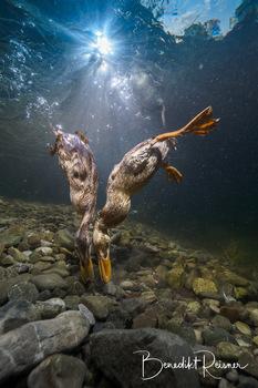 Stockenten unter Wasser