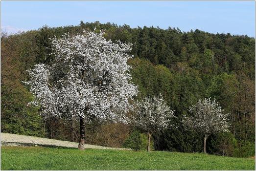 blühende Mostbirnbäume