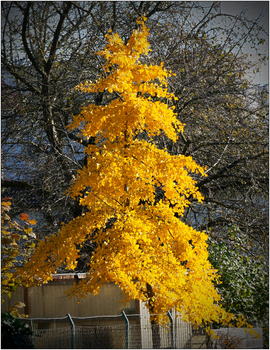 Ginkgo im Herbst