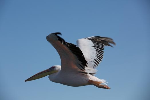 Flug des Pelikans