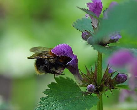 Hummeln mit lila Hut