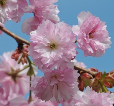 Japanische Kirschbüten