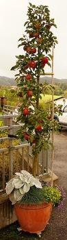 Apfelbaum im Topf